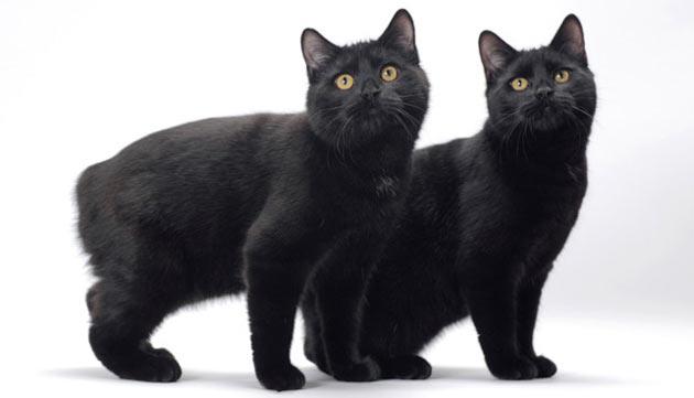 Породы кошек - Мэнкс (Мэнская кошка)