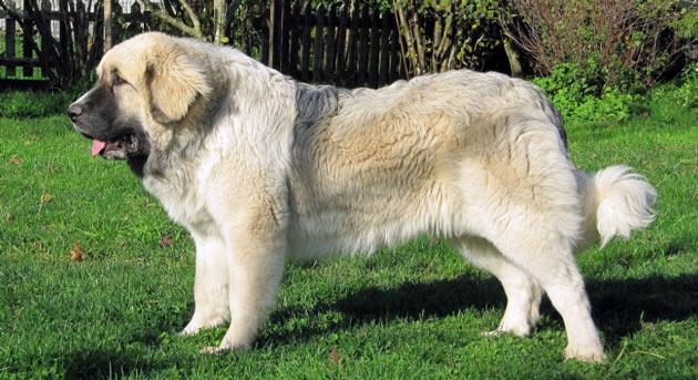 Породы собак - Пиренейский мастиф
