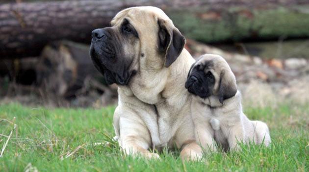 Породы собак - Английский мастиф