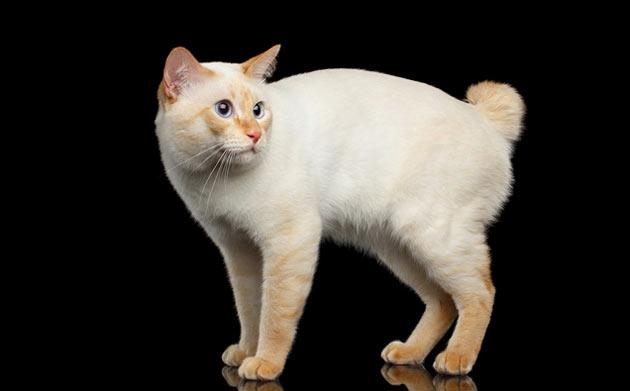 Породы кошек - Меконгский бобтейл