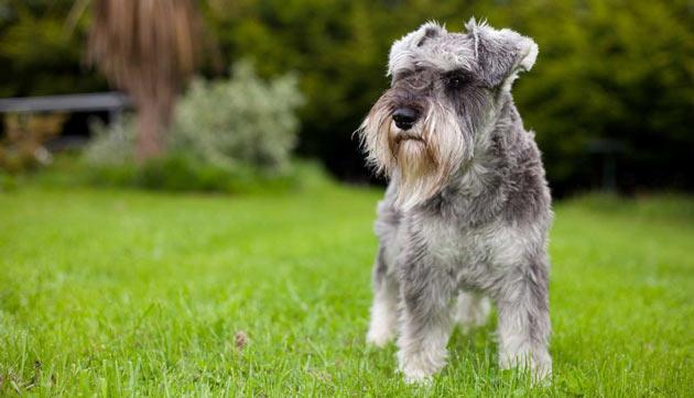 Породы собак - Kарликовый шнауцер
