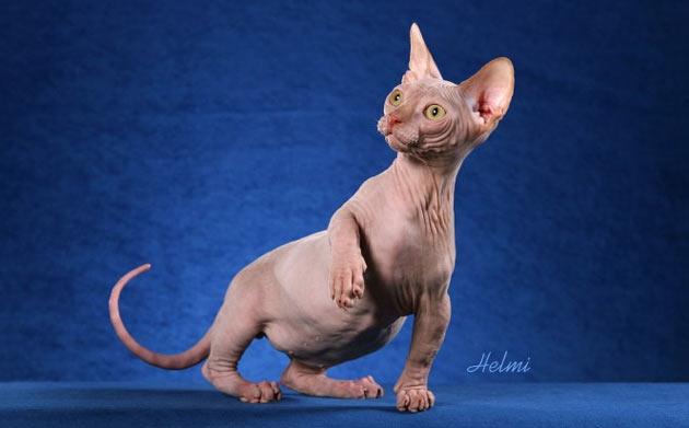 Породы кошек - Минскин