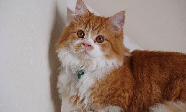 Породы кошек - Наполеон
