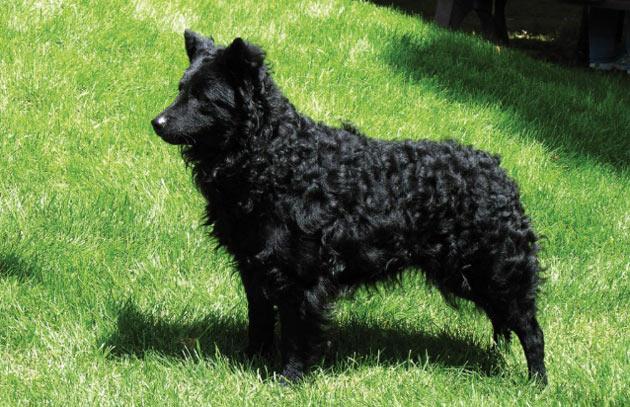 Породы собак - Муди