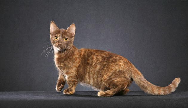 Породы кошек - Манчкин