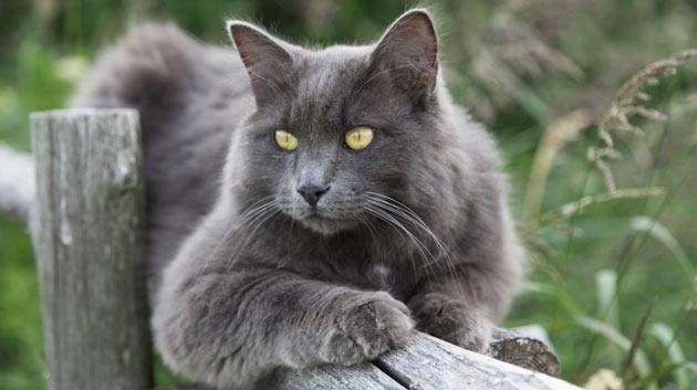 Породы кошек - Нибелунг