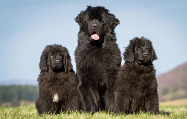 Породы собак - Ньюфаундленд