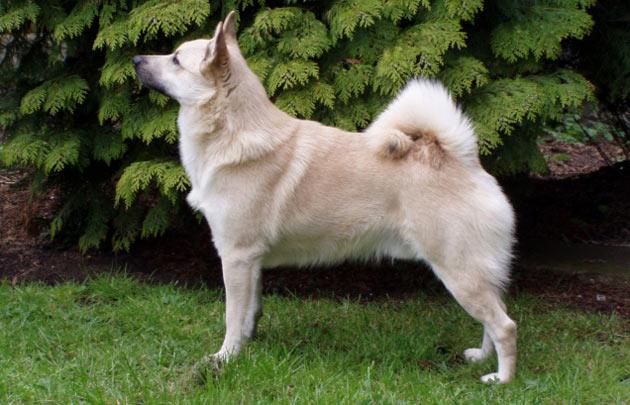 Породы собак - Норвежский бухунд