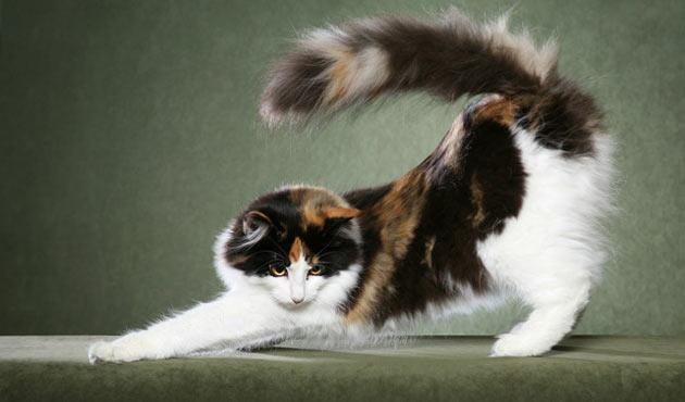 Породы кошек - Норвежская лесная