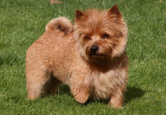 Порода собак - Норвич-терьер