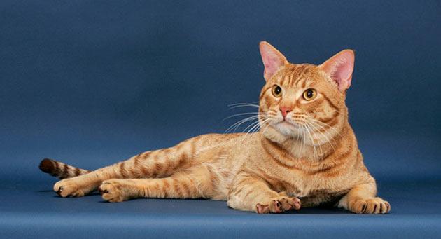 Породы кошек - Оцикет