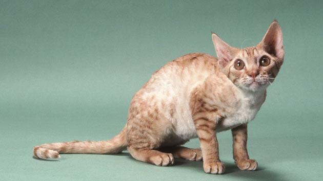 Породы кошек - Орегон-рекс