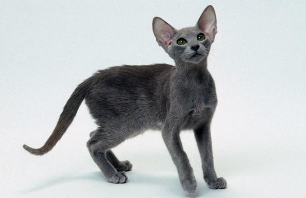 Породы кошек - Ориентальная короткошерстная