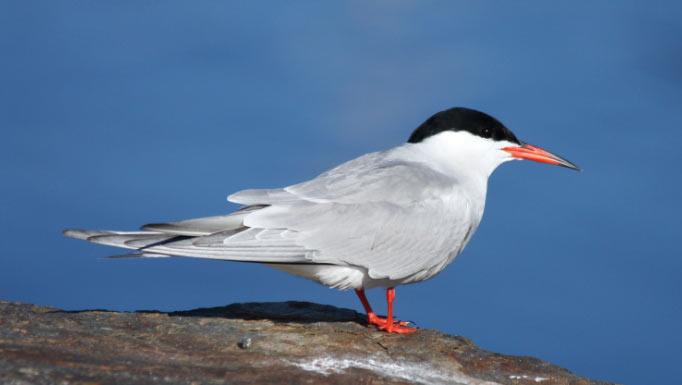 Обыкновенная крачка (лат. Sterna hirundo) – представители вида птиц, относящихся к семейству чайковых