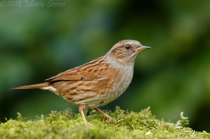 Лесная завирушка (лат. Prunella modularis) – маленькая певчая птица