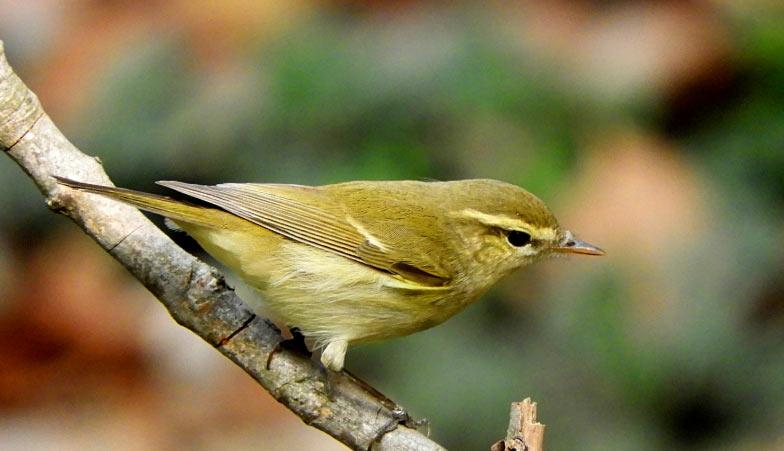 Зеленая пеночка (лат. Phylloscopus trochiloides) – небольшая по размерам певчая птица, относящаяся к семейству славковых
