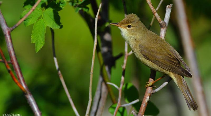 Болотная камышовка (лат. Acrocephalus palustris) – относительно средних размеров певчая птица