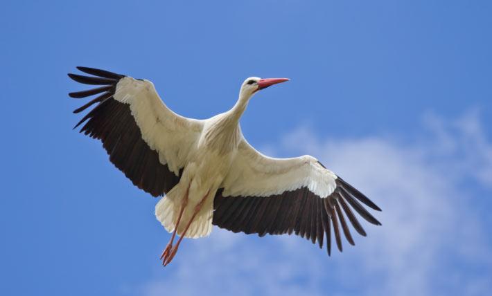 Белый аист (лат. Ciconia ciconia) – крупных размеров болотная птица, относящаяся к семейству аистовых