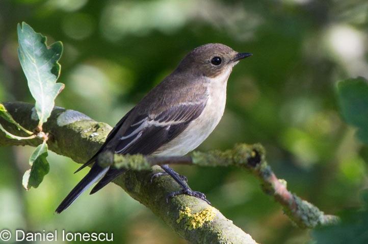 Березовка (лат. Ficedula hypoleuca) – певчая птичка, относящаяся к довольно обширному семейству мухоловковых