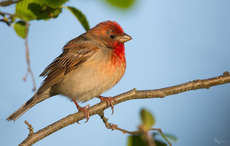 Обыкновенная чечевица (лат. Carpodacus erythrinus) – гнездящаяся в лесных зонах перелётная птица, относящаяся к семейству вьюрковых