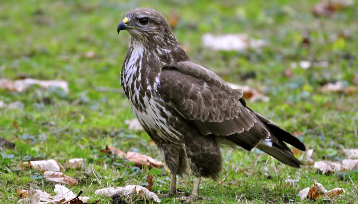 Сарыч (лат. Buteo buteo) – хищная птица, относящаяся к отряду Ястребообразные и семейству Ястребиные