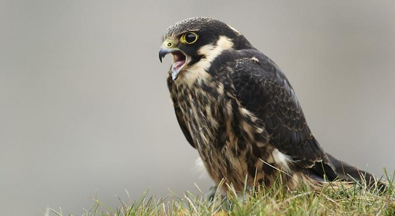 Чеглок (лат. Falco subbuteo) – небольших размеров хищная птица, относящаяся к семейству соколиных