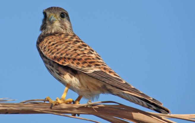Обыкновенная пустельга (лат. Falco tinnunculus) – хищная птица, относящаяся к отряду соколообразных и семейству соколиных