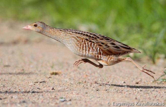 Дергач (лат. Crex crex) – небольших размеров птица, относящаяся к семейству пастушковых