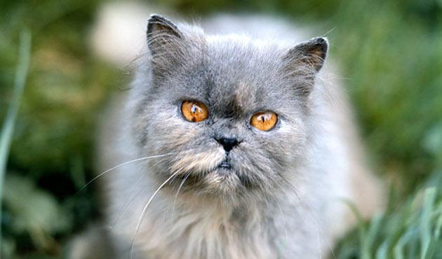 Породы кошек - Персидская