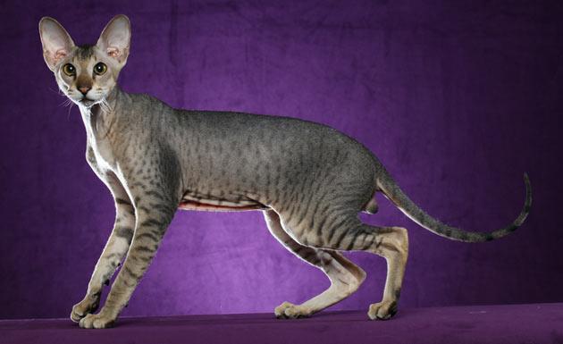 Породы кошек - Петерболд