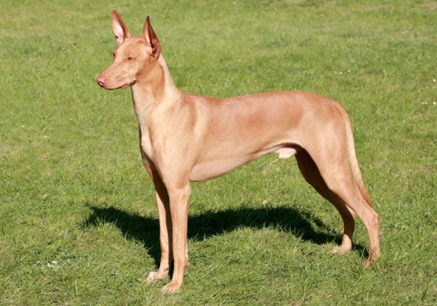 Породы собак - Фараонова собака