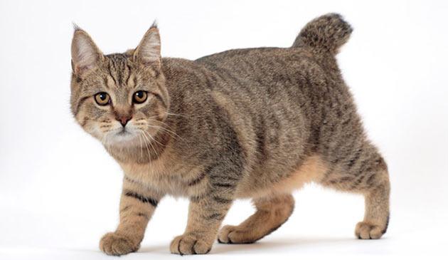 Породы кошек - Пиксибоб