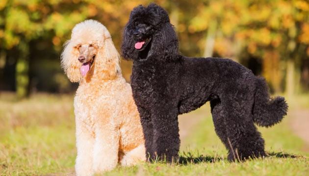 Породы собак - Пудель