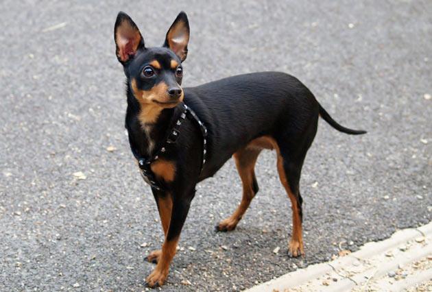 Породы собак - Пражский крысарик