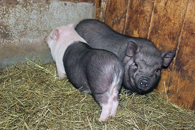 Вьетнамская вислобрюхая относится к категории самых неприхотливых и быстро адаптирующихся свиней