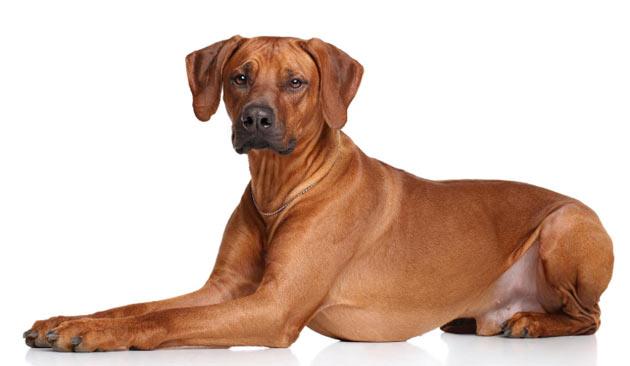 Породы собак - Родезийский риджбек