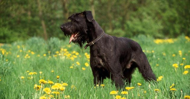 Породы собак - Ризеншнауцер