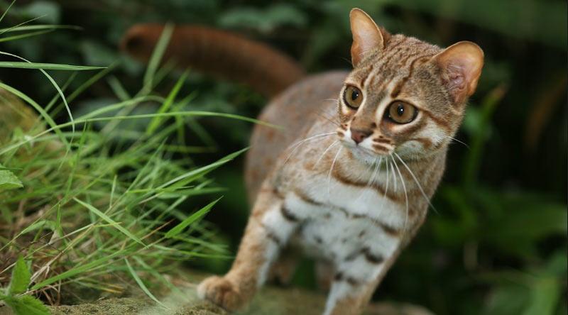 Ржаво-пятнистые кошки в Индии рожают весной.