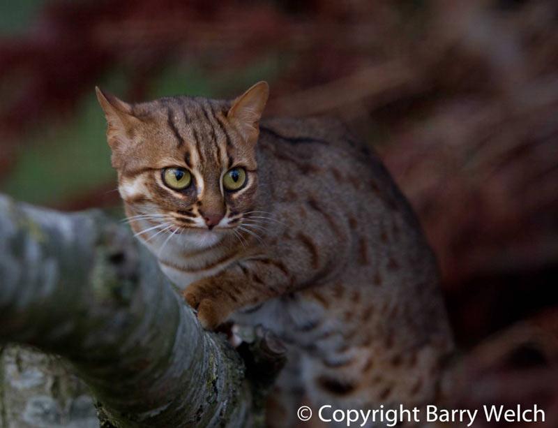 На данный момент не выявлено потенциальных хищников, угрожающих ржавым кошкам.