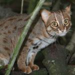 Ржавая кошка (лат. Prionailurus rubiginosus)
