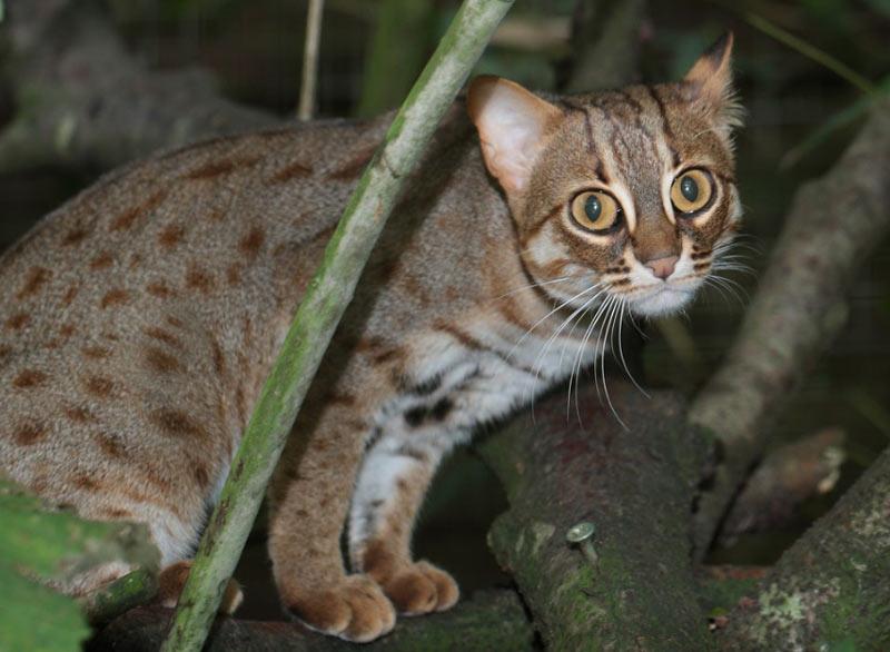 Ржаво-пятнистая кошка имеет короткую, мягкую, светло-серую шерсть с красивым, рыжеватым оттенком.