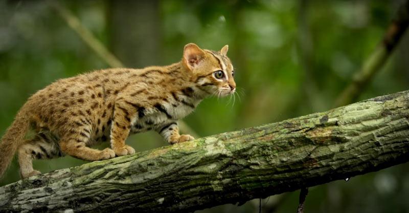 Ржаво-пятнистая кошка обитает в сухих лиственных лесах, кустарниках, луговых и каменистых участках.