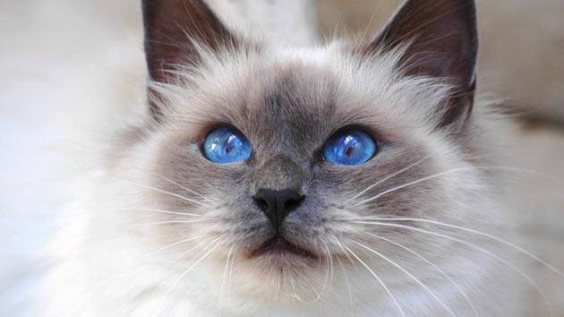 Породы кошек - Священная бирманская
