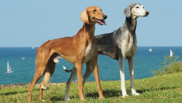Породы собак - Салюки (персидская борзая)