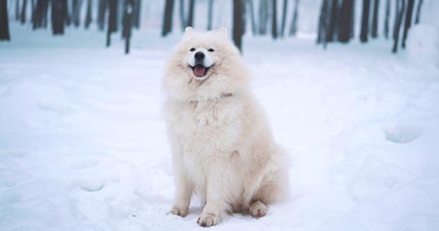 Породы собак - Самоедская собака