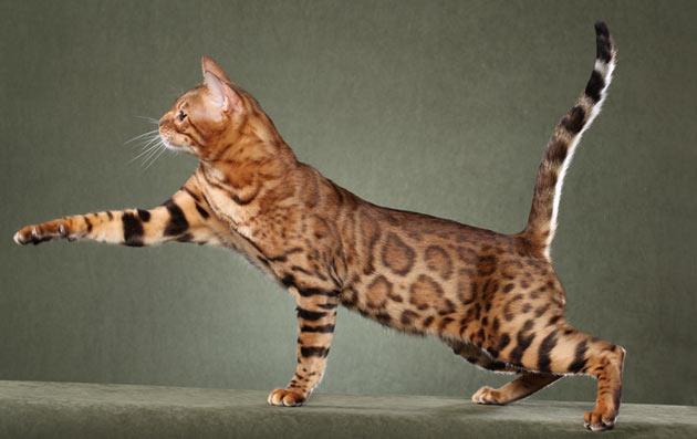 Породы кошек - Саванна