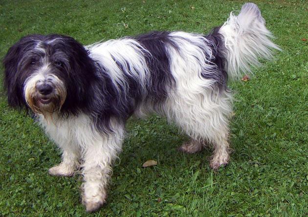 Породы собак - Шапендуа