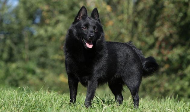 Породы собак - Шипперке