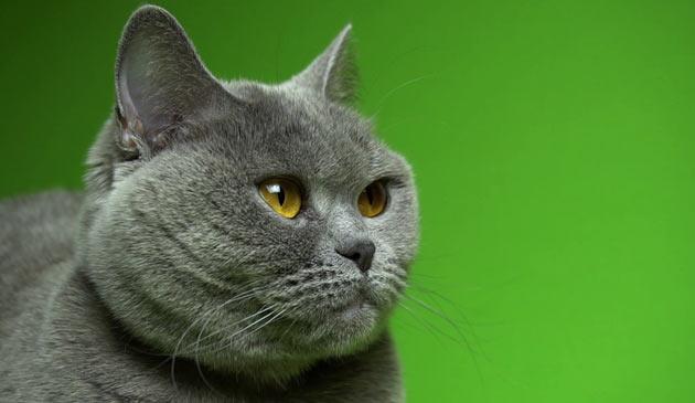 Породы кошек - Скоттиш страйт (Шотландская прямоухая)