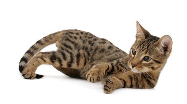 Породы кошек - Серенгети